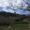 早い桜の開花…城山公園(館山城)