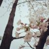 散歩, 桜, 餃子を作る
