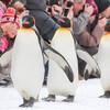 冬の旭山動物園はペンギンの散歩は人気中の人気