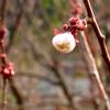 老梅の花の可憐なほころびは我が家では少し悲しいかもしれません。伐採を検討中のモヤモヤの半年。
