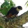 食事中の Bat Falcon (バット ファルコン)