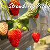 白い苺もある いちご狩り / ガイヤファーム(Gaiya Farm) @千葉