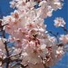 柳瀬川の桜開花始まる