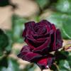 バラをメインに:あいやまガーデン(2)