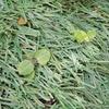 【雑草】人工芝生で育つ