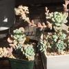セダム・ロッティーとラウルの花は全く一緒でした。ロッティー・ラウル同種説、完結編(笑)。