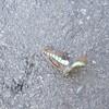 道ばたに力尽きたる秋の蝶