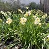 水仙は孤なる花