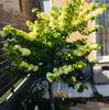 オオデマリ開花拝見と移植