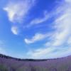 埼玉県に日本最大級のラベンダー畑?! 千年の苑