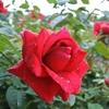 神代植物園のバラフェスは行く価値あるけど近所のバラもいいんだ♪