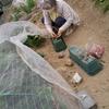 我が家の婆さん~畑でイチゴ🍓の収穫