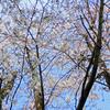 桜の木の根元には…「桜」と「ジビエ」な話