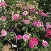バラ栽培講座(17) バラの歴史と種類とトレンド