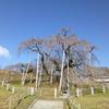 三春町・滝桜