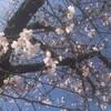 桜🌸を見に行きました。桜餅は2種類あった!!