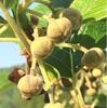 キウイフルーツ 大量のツボミ