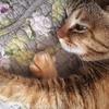ネコある記:愛猫はニャンコ先生 懐かないけど愛おしい