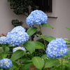 梅雨入りの花