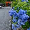 吉田神社のあじさい、見頃や開花状況。