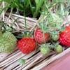 イチゴの初収穫!!甘い!!(´艸`*)