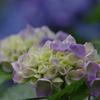 花菖蒲園(紫陽花)