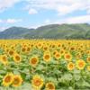 夏休みにはコチラ🌻ひまわり畑 と 絵本作家