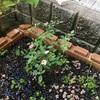 うちのミニバラは夏の間中花を咲かせています。