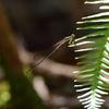 成虫越冬二種と夏のサナエ