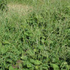 田舎ぐらし、すいか畑の片づけ、メヒシバのこと