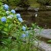 平安神宮のあじさい、見頃や開花状況。