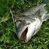 ティムコ社グリマー7でチヌを釣る