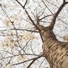 北京一の桜スポット「玉淵潭公園」へ行ってみた