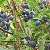 ブルーベリーの収穫とジャム作り