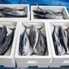 2020年9月25日 小浜漁港 お魚情報
