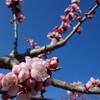 杏の花が満開だよ!