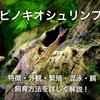 ピノキオシュリンプの飼育方法・繁殖・餌・販売・苔取り能力優秀エビ