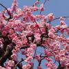 名古屋市農業センター「しだれ梅」