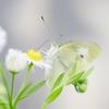 ~チョウと彼岸、出会いと別れの季節。~ 七十二候 第九候:菜虫化蝶(なむしちょうとなる )【啓蟄・末候】