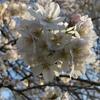 桜、ほぼ満開だった日曜日の代々木公園。