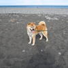 海へ行ってきた。柴犬と共に。