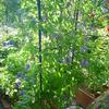 クレマチス「リトルボーイ」の二番花