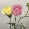 今日のお花 カーネーションとラナンキュラス
