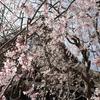【鎌倉いいね】鎌倉の春の花です。しだれ桜などなど(3月18日撮影)