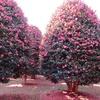 済州島(チェジュ島)冬のフォトスポット #紅色の森2「済州椿樹木園」