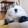老犬のしこりは要診察!皮膚組織球腫は治療不要の良性腫瘍です