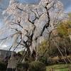 多摩川桜百景 -25. 多摩市鶴牧の枝垂れ桜-