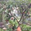 ヤマボウシの赤い実