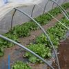 マルチを敷き、播種・定植が始まりました (^o^)