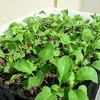 ルッコラの過密栽培に挑戦しています。成長や収穫量がどうなるのか実験してみます